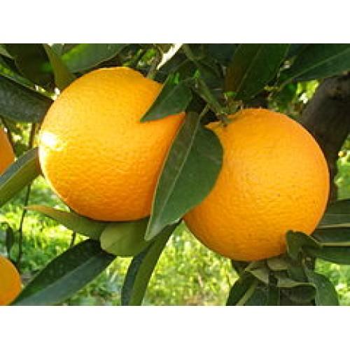 Какво знаем за портокала?